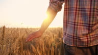 SLO MO Father and son walking through wheat field video