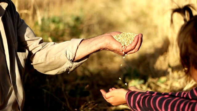 SLO MO Father pouring corn maize into child's hand video