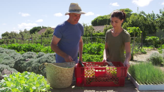 Father With Adult Daughter Harvesting Produce From Allotment video