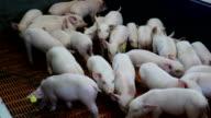 Fattening pigs in the pen video