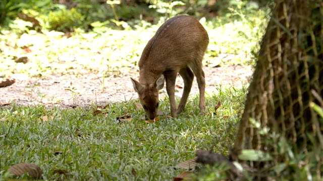 fawn is alert and run. video