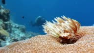 Feather Duster Worm video