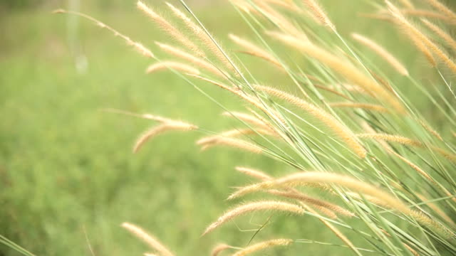 feather grass and vintage color tone video
