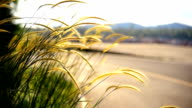 feather grass at sunrise video