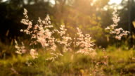 feather grass at sunset video