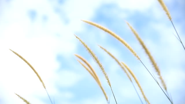 feather grass over blue sky video