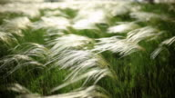 Feather Grass video
