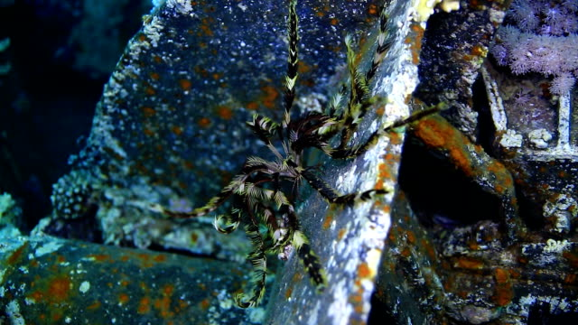 Feather Star video