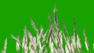 Feathery Plant - Green Screen video