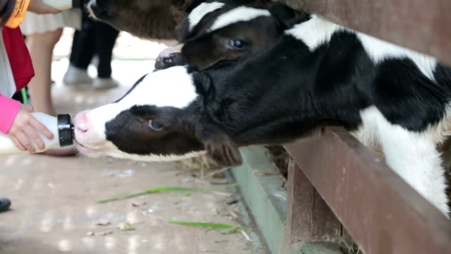 Feed milk to baby cow video