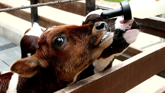 feeding a calf with bottle milk video