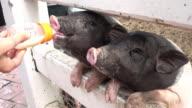 Feeding A Piglet video