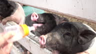 Feeding A Piglet video