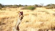 SLO MO LS PAN Feeding An African Leopard video
