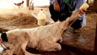 Feeding Baby Calf with Milk Bottle video