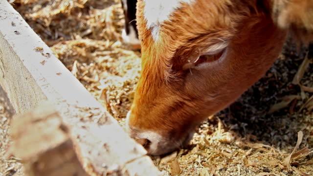 Feeding Cow video