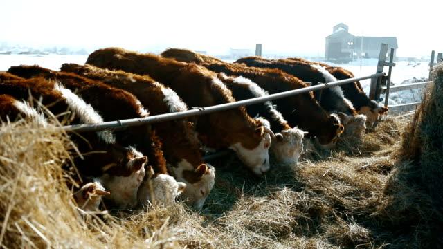 Feeding cows in a russian winter video
