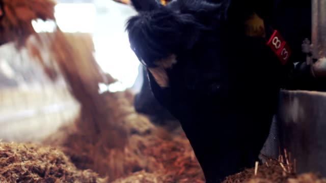 Feeding cows on the farm. video