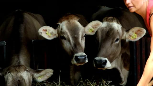 HD STOCK: Feeding cows video