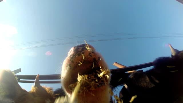 Feeding Cows video