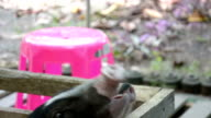 feeding cute black small-eared pig video