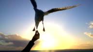 SLOW MOTION CLOSE UP: Feeding cute seagulls at beautiful sunset by seashore video