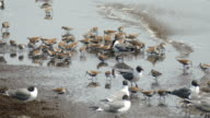 Feeding dunlin red knot sandpipers laughing gulls Reeds Beach New Jersey video