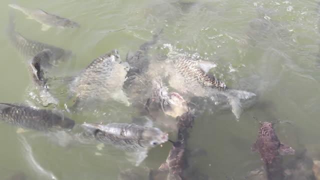 Feeding fish. video