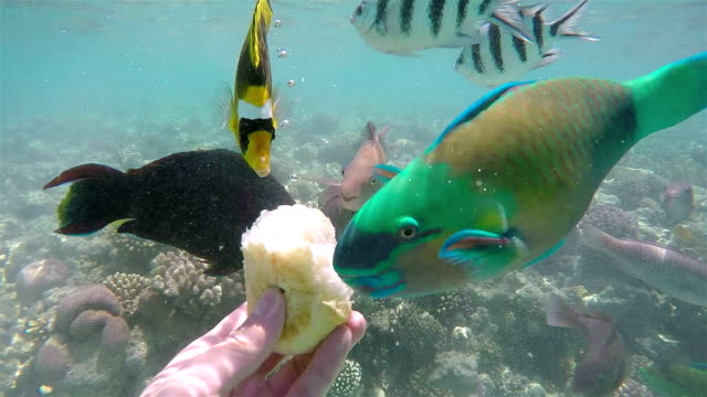 Feeding Fish with Bread, Red Sea. video
