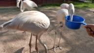 Feeding flamingo birds video