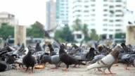 Feeding flocks of pigeons. video