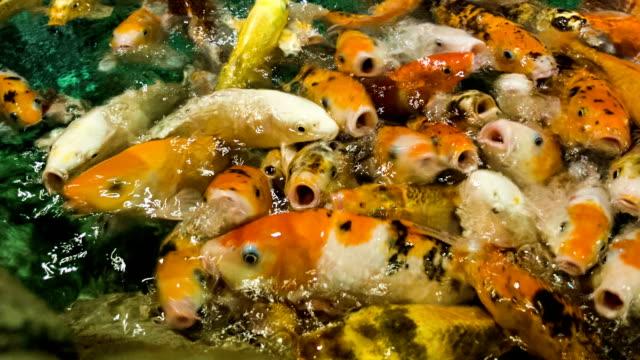 Feeding golden carps 2 video