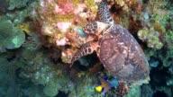 Feeding Hawksbill Turtle with Queen Angelfish, Roatan 2014 video