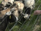 Feeding Jacob sheep video