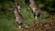 Feeding Kangaroos video