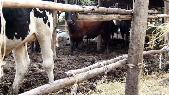 Feeding Moldy Hays to Cow video