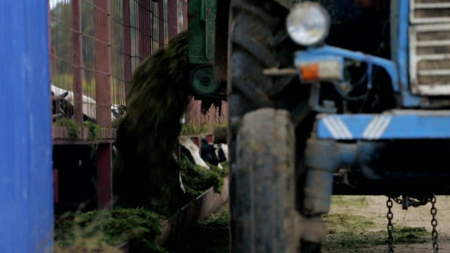 Feeding of cows by tractor video