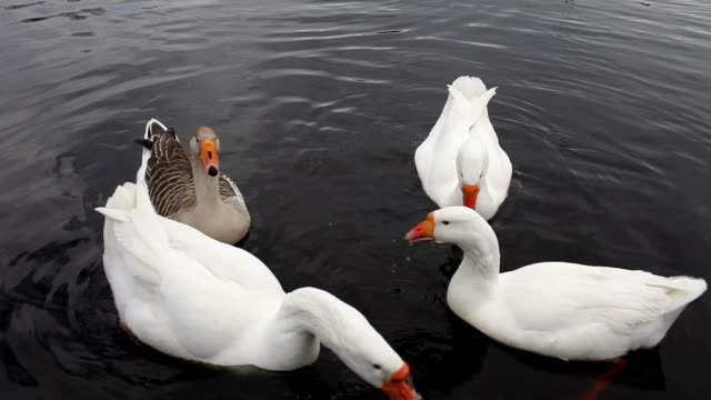 Feeding of domestic geese video