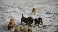 Feeding of many small homeless stray puppies video