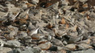 Feeding red knot sandpiper birds Reeds Beach New Jersey video