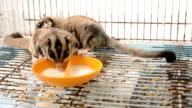 Feeding Sugar Glider video