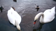 Feeding Swans in Prague video