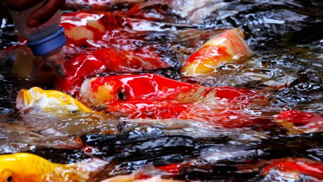 feeding the koi fish in pond. video