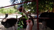 Feeding the ostriches video