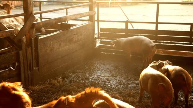 feeding the pigs video