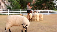 Feeding the sheep video