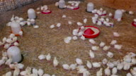Feeding turkey poult on the farm video