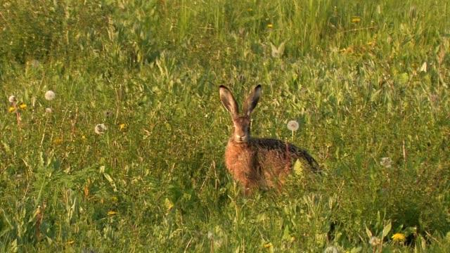 Feldhase - European hare - Lepus europaeus video