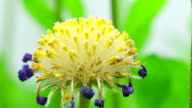 Felicia amelloides seeds - Blue daisy dandelion video