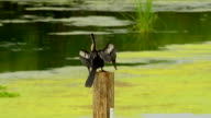 Female Anhinga bird on top of round post, turning and taking off towards camera video